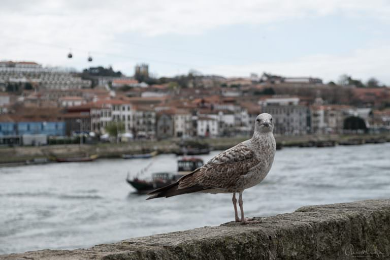 Möve in Porto