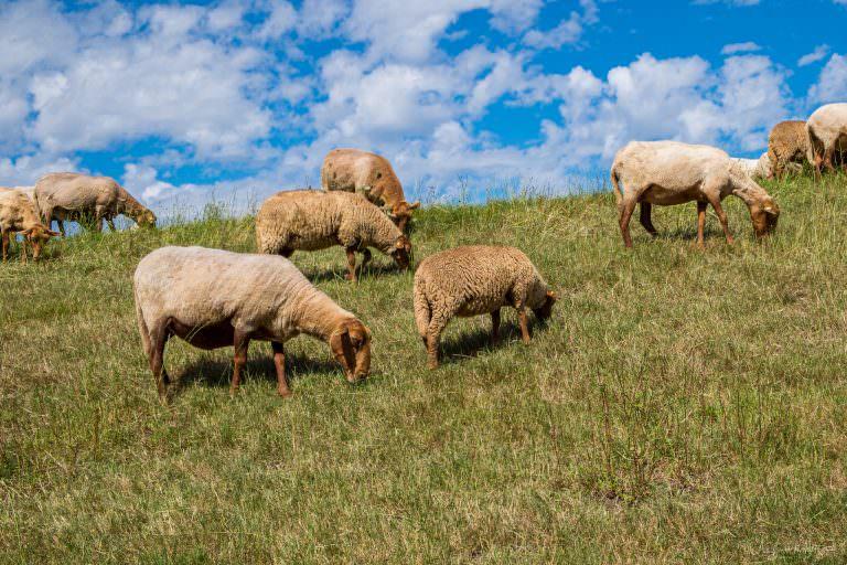 Schafe am Elbdeich