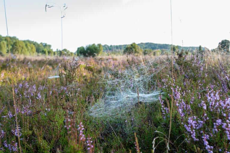 Spinnenweben in der Heide